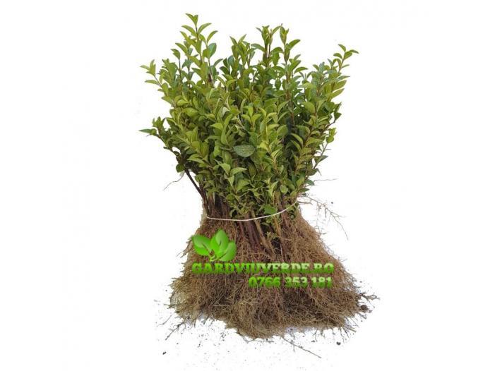 Gard viu, Lemn cainesc, Ligustrum Ovalifolium - 2/3