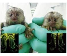 Maimuță de marmură pigmeu Disponibil pentru adoptare
