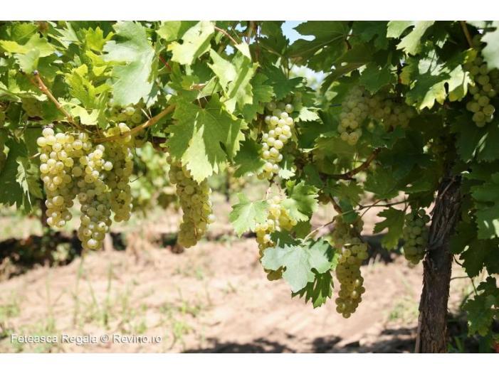 Vand struguri de vin calitate superioara feteasca regala si feteasca alba romaneasca - 2/3