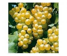 Vand struguri de vin calitate superioara feteasca regala si feteasca alba romaneasca