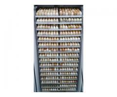 Incubatoare Oua direct de la producator