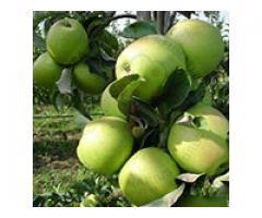 Valorificam pomi din speciile nuc, prun, mar, par