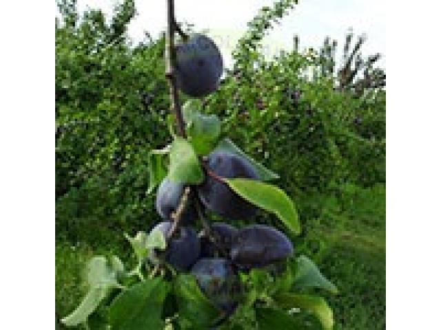 Producem si comercializam pomi fructiferi - 1/5