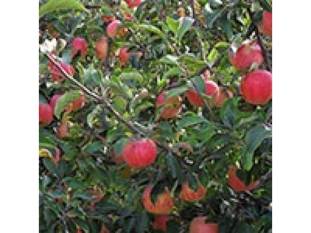 Producem si comercializam pomi fructiferi - 2/5