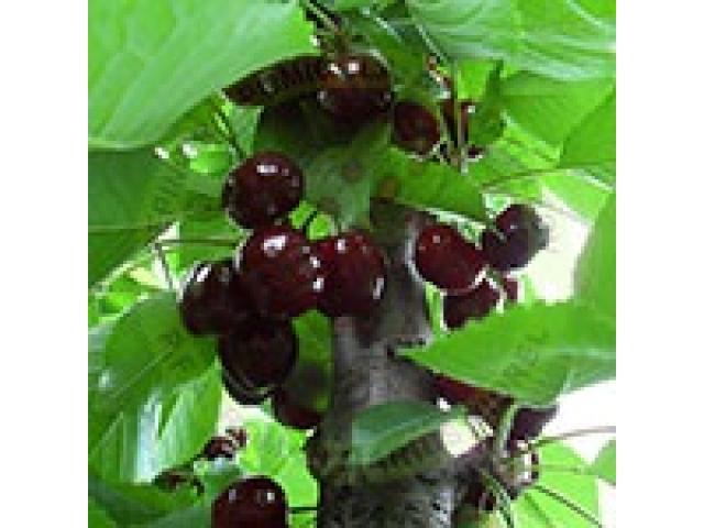 Producem si comercializam pomi fructiferi - 3/5