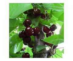 Producem si comercializam pomi fructiferi