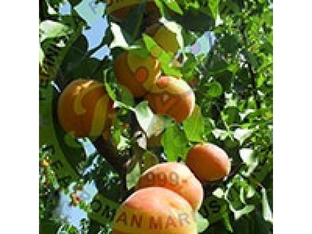 Producem si comercializam pomi fructiferi - 5/5