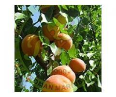 Producem si comercializam pomi fructiferi - Poza 5/5