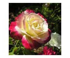 Producem si comercializam trandafiri - Poza 1/4