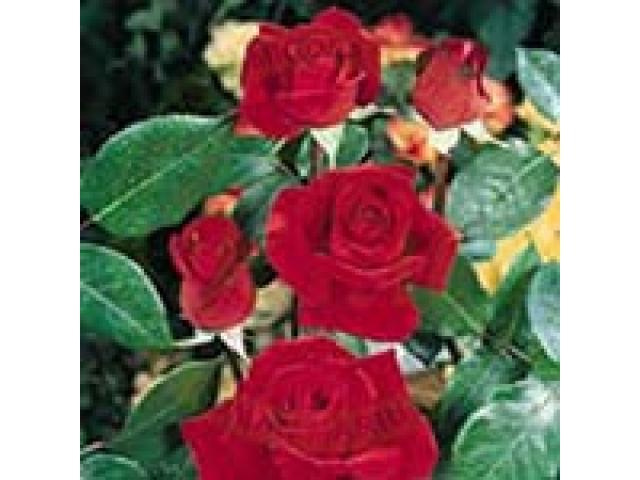 Producem si comercializam trandafiri - 2/4