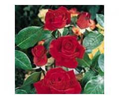 Producem si comercializam trandafiri - Poza 2/4