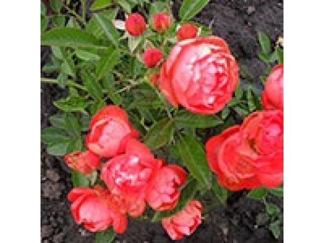 Producem si comercializam trandafiri - 3/4