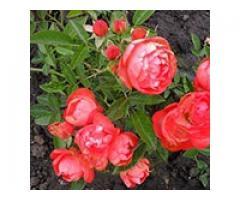 Producem si comercializam trandafiri - Poza 3/4