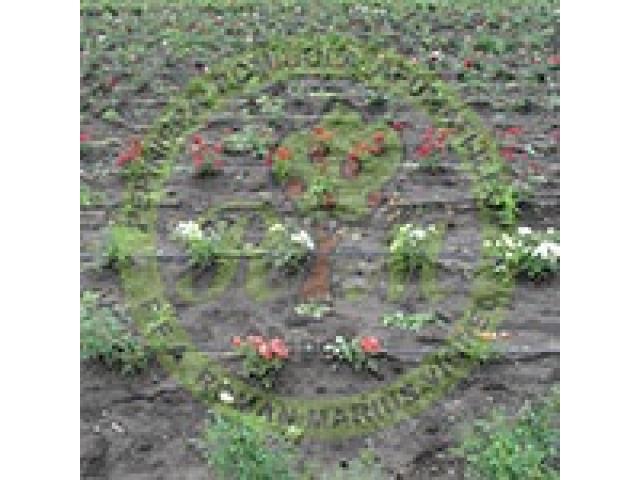 Producem si comercializam trandafiri - 4/4
