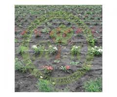 Producem si comercializam trandafiri - Poza 4/4