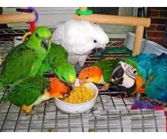 Papagali papagali fertile și ouă