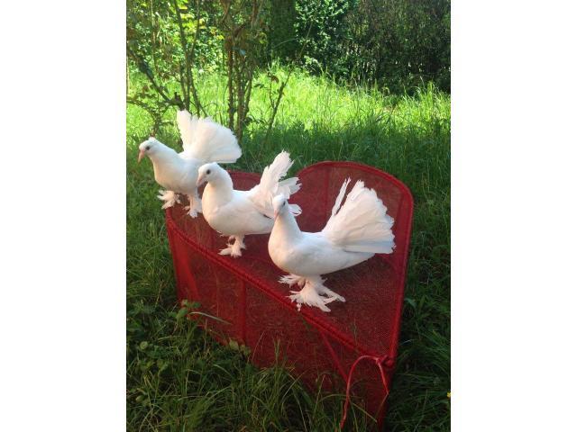 Inchiriez porumbei albi pt. nunti, Craiova - 4/5