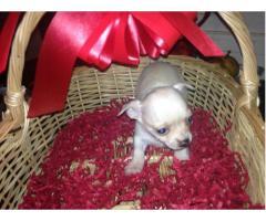 Vand pui Chihuahua - Poza 4/4